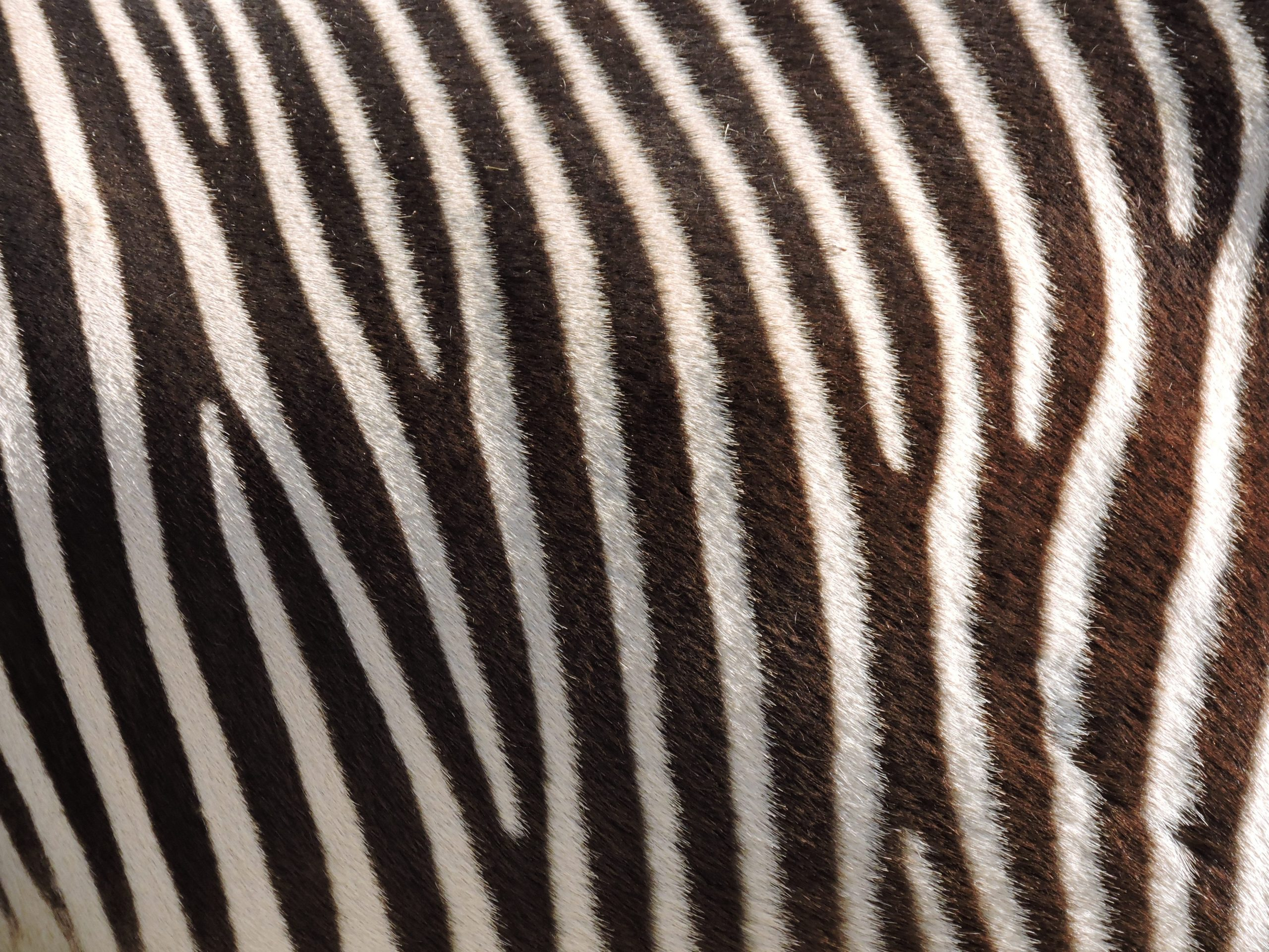 zebra stripes. Photo by ohsoshy on Unsplash